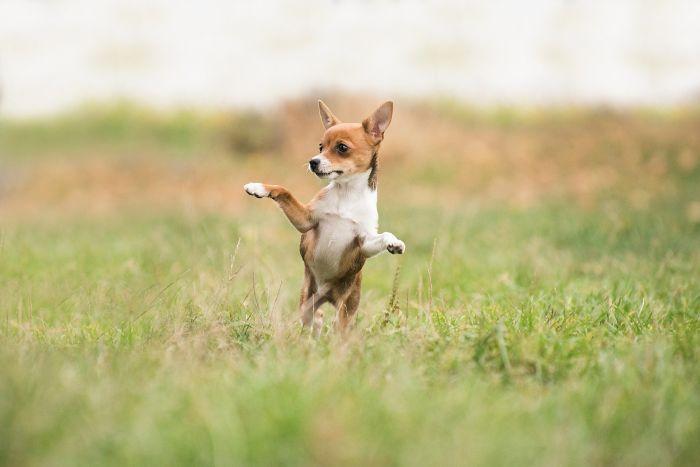 Câine care se joacă în iarbă