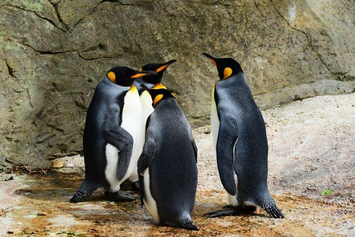 grup de patru pinguini