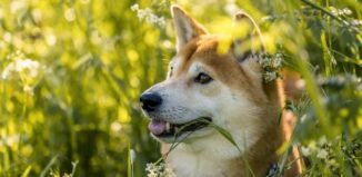 De ce mănâncă câinii iarbă