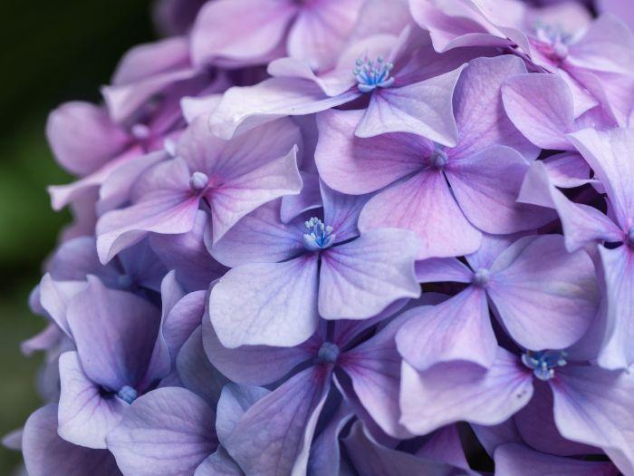 Plante aducătoare de noroc: hortensia